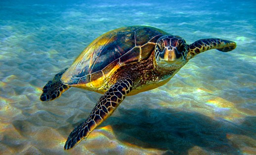 Best 20  Sea turtles ideas on Pinterest