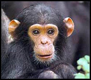 external image baby-chimpanzee-picture.jpg