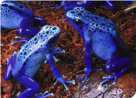 Blue Poison Dart Frog, photo courtesy of the National Aquarium in Baltimore