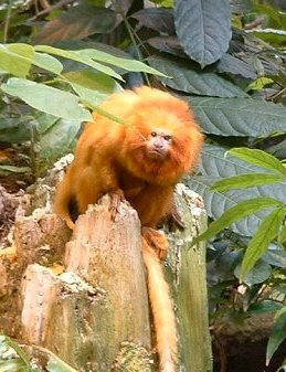 the main features of golden marmosets The golden lion tamarin (leontopithecus rosalia, portuguese: mico-leão-dourado [ˈmiku leˈɐ̃w̃ dowˈɾadu], [liˈɐ̃w̃ doˈɾadu]), also known as the golden marmoset, is a small new world monkey of the family callitrichidae.